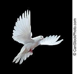 repülés, elszigetelt, szabad, fekete, fehér galamb