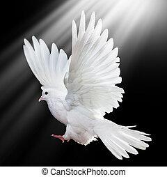 repülés, elszigetelt, szabad, fekete, fehér, galamb
