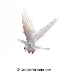 repülés, elszigetelt, szabad, háttér, fehér galamb
