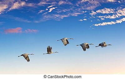 repülés, körképszerű, napnyugta, közben, madarak, táj,...