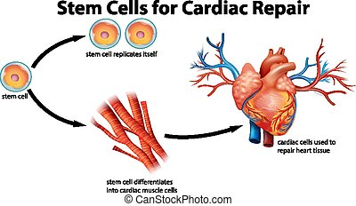 reparar, cardiacos, celas, caule