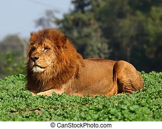 repos lion