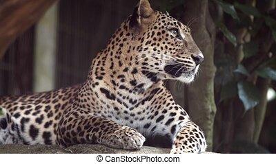 repos, solitaire, ombre, jaguar