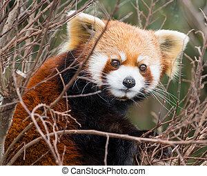reposer, arbre, panda, rouges