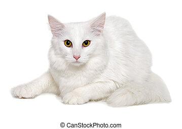 reposer, blanc, propre, fond, chat