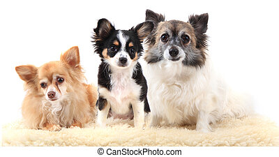reposer, chihuahua, trois, chiens