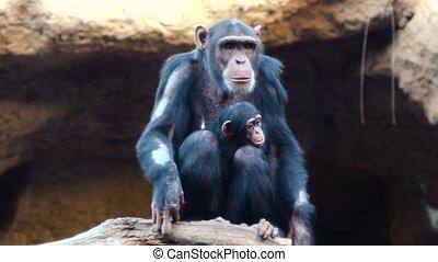reposer, chimpanzés