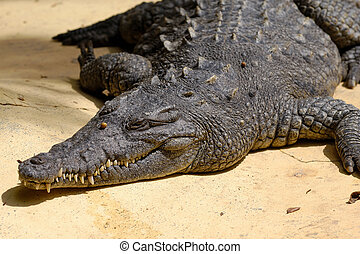 reposer, crocodile, soleil