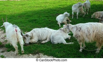 reposer, herbe, vert, chèvres, ombreux, géorgie