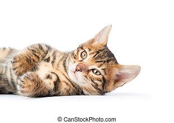 reposer, insouciant, fond, chaton, blanc, mensonge
