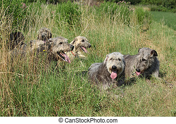 reposer, irlandais, wolfhounds, ensemble