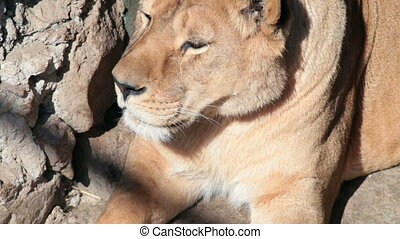 reposer, lionne