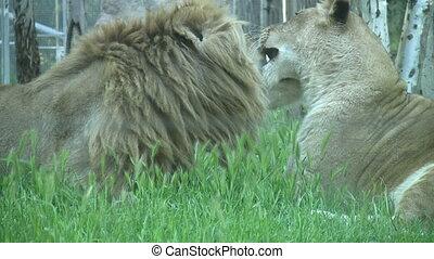 reposer, lions