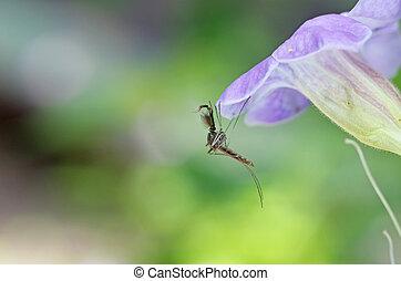 reposer, mâle, moustique