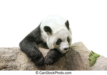reposer, panda géant