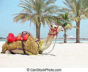 reposer, plage, chameau