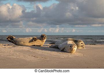 reposer, plage., phoca, danemark, trois, port, vitulina, tôt, grenen, cachets, matin