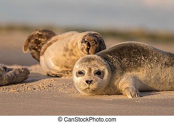 reposer, plage., phoca, danemark, vitulina, port, matin, tôt, grenen, cachets