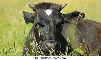 reposer, vache