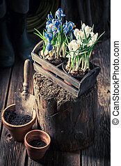 Repotting a blue hyacinth in red old clay pots