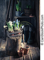 Repotting a blue hyacinth in the rustic cottage