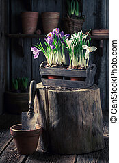 Repotting a colourful hyacinth in an old wooden box