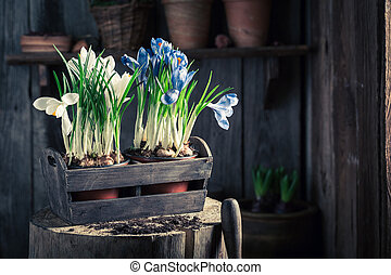Repotting a colourful hyacinth in an old wooden workshop