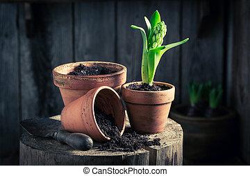 Repotting a green crocus and fertile dark soil