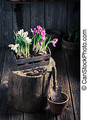 Repotting a red hyacinth in the rustic cottage
