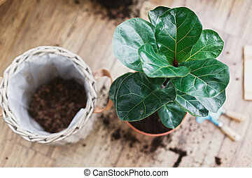 Repotting fiddle leaf fig tree in big modern pot. Ficus lyrata leaves and pot, drainage, garden tools, soil on wooden floor. Process of planting new house tree