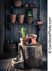 Repotting green plants and old gardening tools in wooden hut