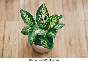 Repotting plant concept. Dieffenbachia plant potted with new soil into new modern pot on wooden floor. Closeup on fresh green leaves