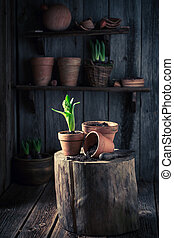 Repotting spring flowers in an old wooden workshop