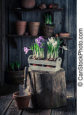 Repotting spring flowers on old wooden box