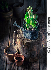 Repotting spring green flowers in old clay pots