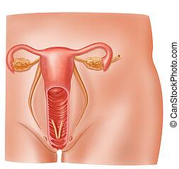 reproductief, gedeelte, kruis, systeem, anatomie, vrouwlijk