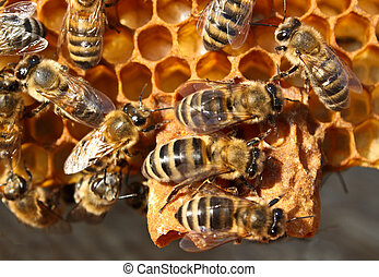 Reproduction of Bees
