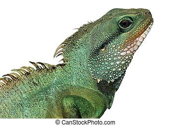 reptil, lagarto, aislado, animal, blanco