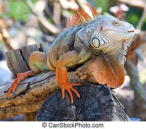 reptil, leguan, sitzen