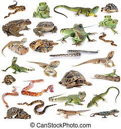 reptil, und, amphibie