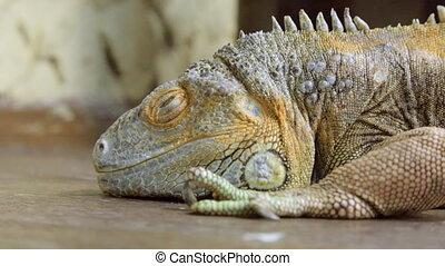reptile, iguane