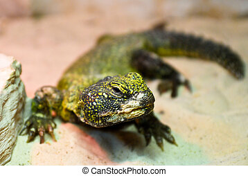 Reptile - A small reptile, like a lizard, looking you