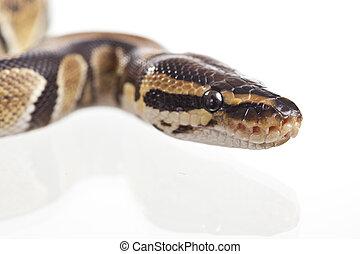 Reptile - Royal Python, or Ball Python (Python regius), in...