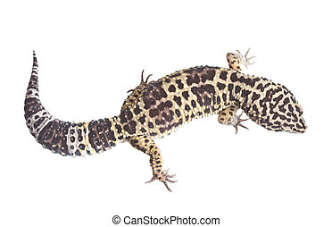 Reptile - Leopard gecko on white background isolated, a lot...