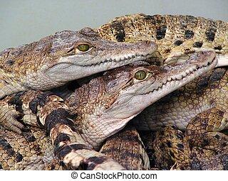 Reptiles orgy? - Baby crocodiles in tank at a crocodile farm...