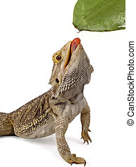 Reptiles - bearded dragon drinking from a leaf