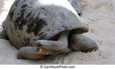 giant tortoise - Reptiles world. Portrait of a giant...