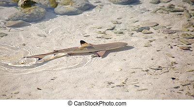 requin, blacktip, récif