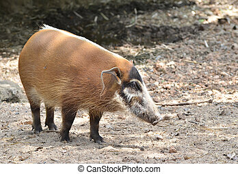 res river hog, african wild life