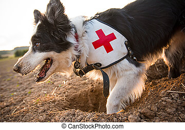 Rescue border collie dog outside.